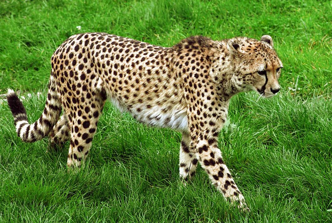 Фотографии гепардов картинки с