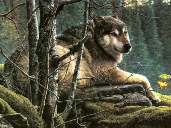 Фото одинокого волка