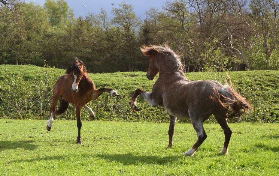 кони скакуны фото